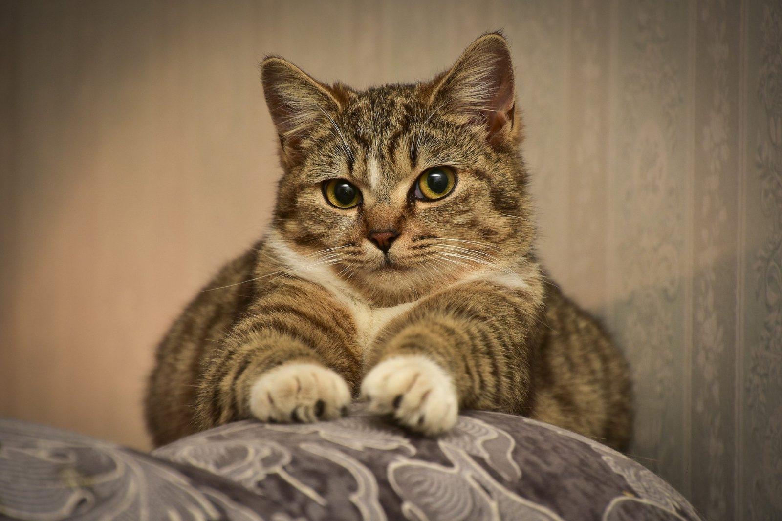 Вирусные инфекции у кошек и их лечение