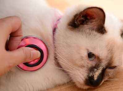 Инфекции мочевыводящих путей у кошек