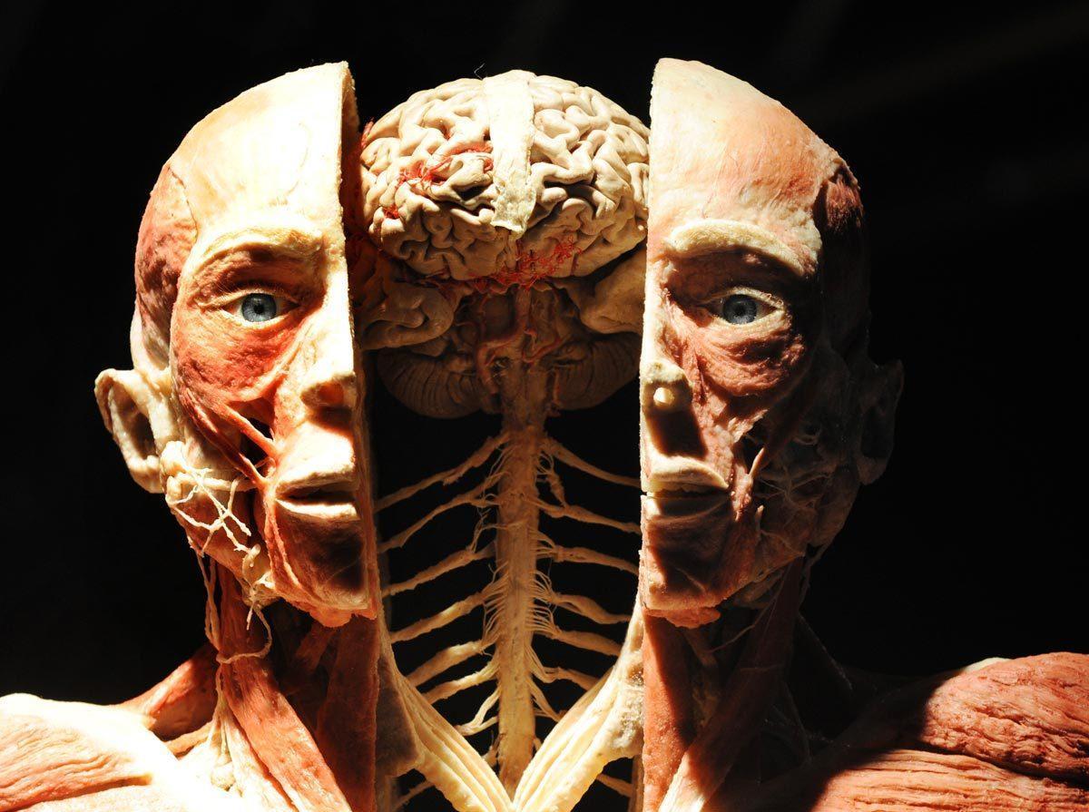 Анатомия для начинающих. Dr. Gunther von Hagens