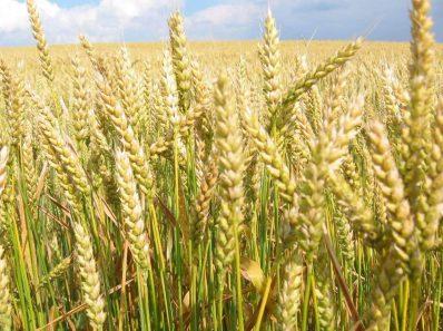 Питание пшеницей и её производными может способствовать … выкидышу