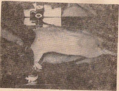 Рис. 1. Разгибание ротированной головы привело к смерти 18  из 20 крыс