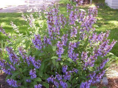 Шалфей лекарственный — Salvia officinalis L.