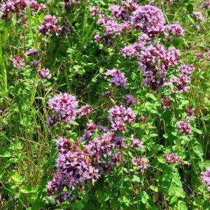 Душица обыкновенная — Origanum vulgare L.