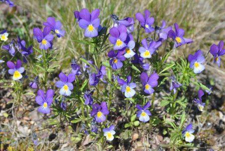 Фиалка трехцветная, иван-да-марья — Viola tricolor L.