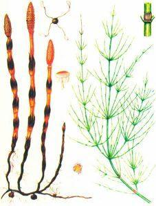 Хвощ полевой — Equisetum arvense L.
