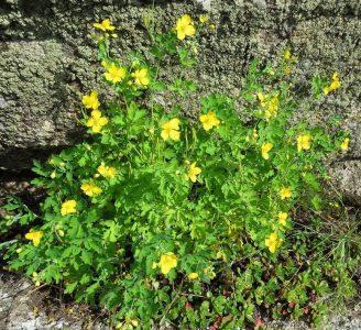 Чистотел большой — Chelidonium majus  L.