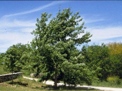 Дуб обыкновенный (черешчатый) — Quercus robur L.