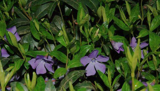 Барвинок малый — Vinca minor L.