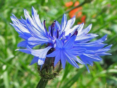 Василек синий — Centaurea cyanus L