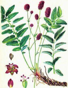 Кровохлебка лекарственная — Sanguisorba officinalis L