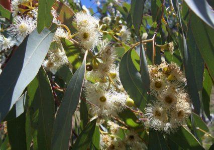 Эвкалипт круглый — Eucalyptus globulus.