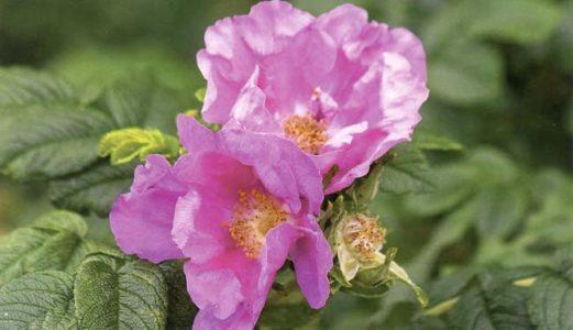 Шиповник — Rosa sp.