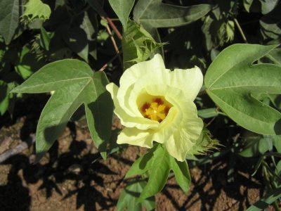 Хлопчатник — Gossypium hirsutum