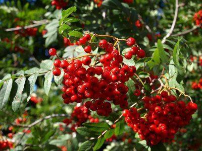 Рябина обыкновенная — Sorbus aucuparia
