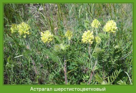 Астрагал шерстистоцветковый — Astragalus dasyanthus