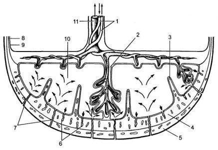 Рис. 2. Структура плаценты и маточно-плацентарного кровообращения.1 — артерии пуповины; 2 — стволовая ворсина; 3 — децидуальная перегородка; 4 — деци-дуальный слой;5 — миометрий; 6 — вены; 7 — спиральные артерии; 8 — хорион; 9 — амнион; 10 — межворсинчатое пространство;11 — вена пуповины.