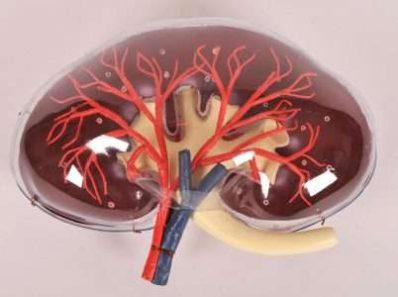 Кто, где и как создает искусственные органы для пересадки
