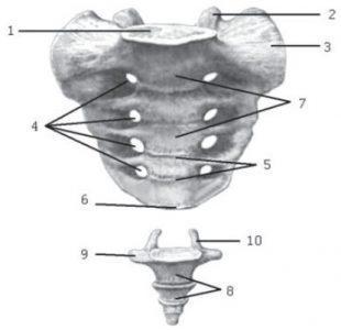Крестец и копчик. Вид спереди. Крестец: 1 — основание крестца; 2 — верхний суставной отросток; 3 — латеральная часть; 4 — передние крестцовые отверстия; 5 — поперечные линии; 6 — верхушка крестца; 7 — крестцовые позвонки. Копчик: 8 — копчиковые позвонки; 9 — боковые выросты (рудименты поперечных отростков); 10 — копчиковые рога (рудименты верхних суставных отростков).