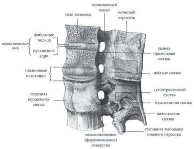. Соединения позвонков (поясничный отдел, вид слева). Два верхних позвонка сагиттально распилены