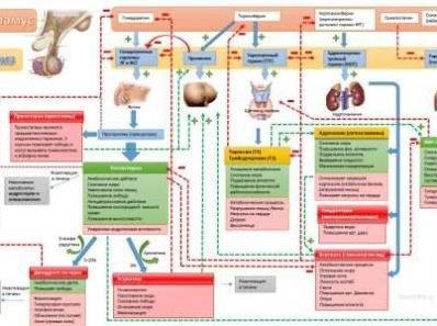 Низкокалорийная диета и гормональные механизмы