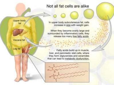 Что мы узнали нового о жировой ткани?