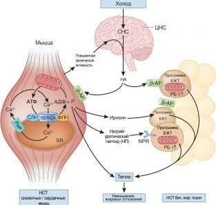 Калории - это просто калории? Влияет ли калорийность питания на термогенез и метаболизм в целом?