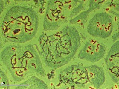 Хромосомы и индивидуальное развитие организма (1970)