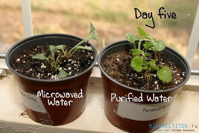 Рассада, политая водой из микроволновой печи (слева) и очищенной водой (справа)