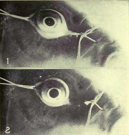 Рисунок 8. №1 – Воспроизводство смешенного астигматизма в глазу карпа путём оттягивания нитей, прикреплённых к конъюнктиве в противоположных направлениях. Заметьте овальную форму на передней части глазного яблока. №2 – После перерезывания нитей глазное яблоко возвращает свою нормальную форму, и рефракция становится нормальной.