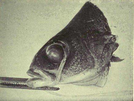 Рисунок 7. Демонстрация на глазе рыбы того, что воспроизведение миопической и гиперметропической рефракции зависит от действия внешних мышц