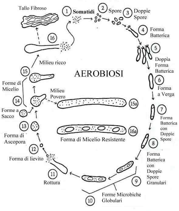Рис.2 - Циклы соматидного полиморфизма