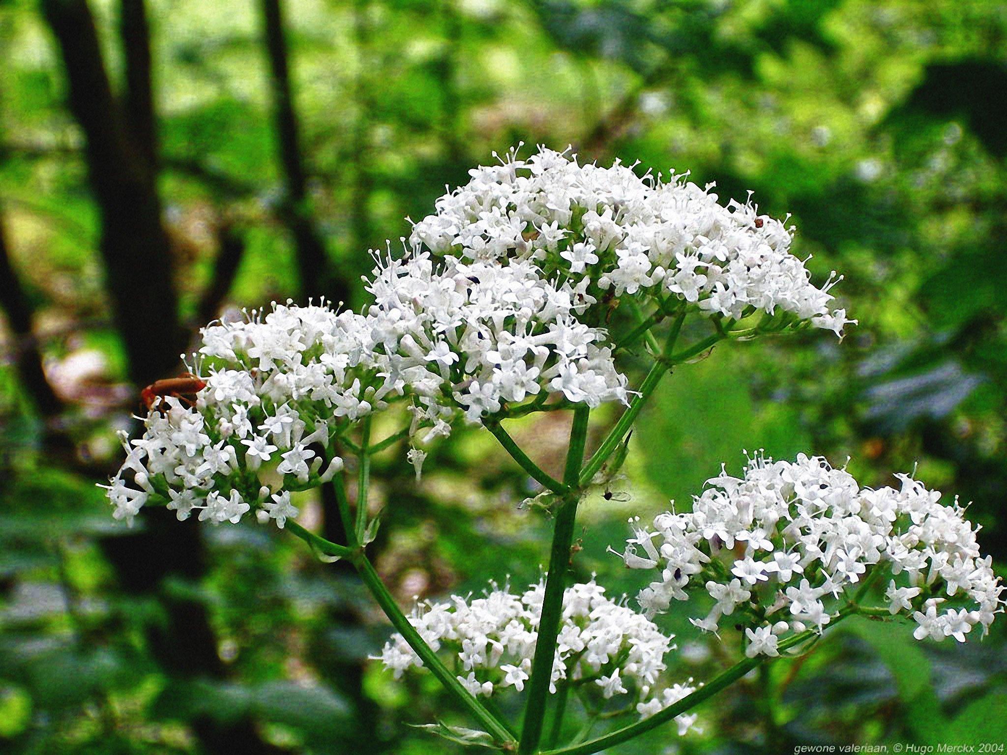 Олеандр — смертоносное растение, а не лекарство от COVID-19