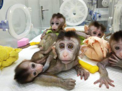 Тестирование вакцины против COVID-19: обезьяны заканчиваются