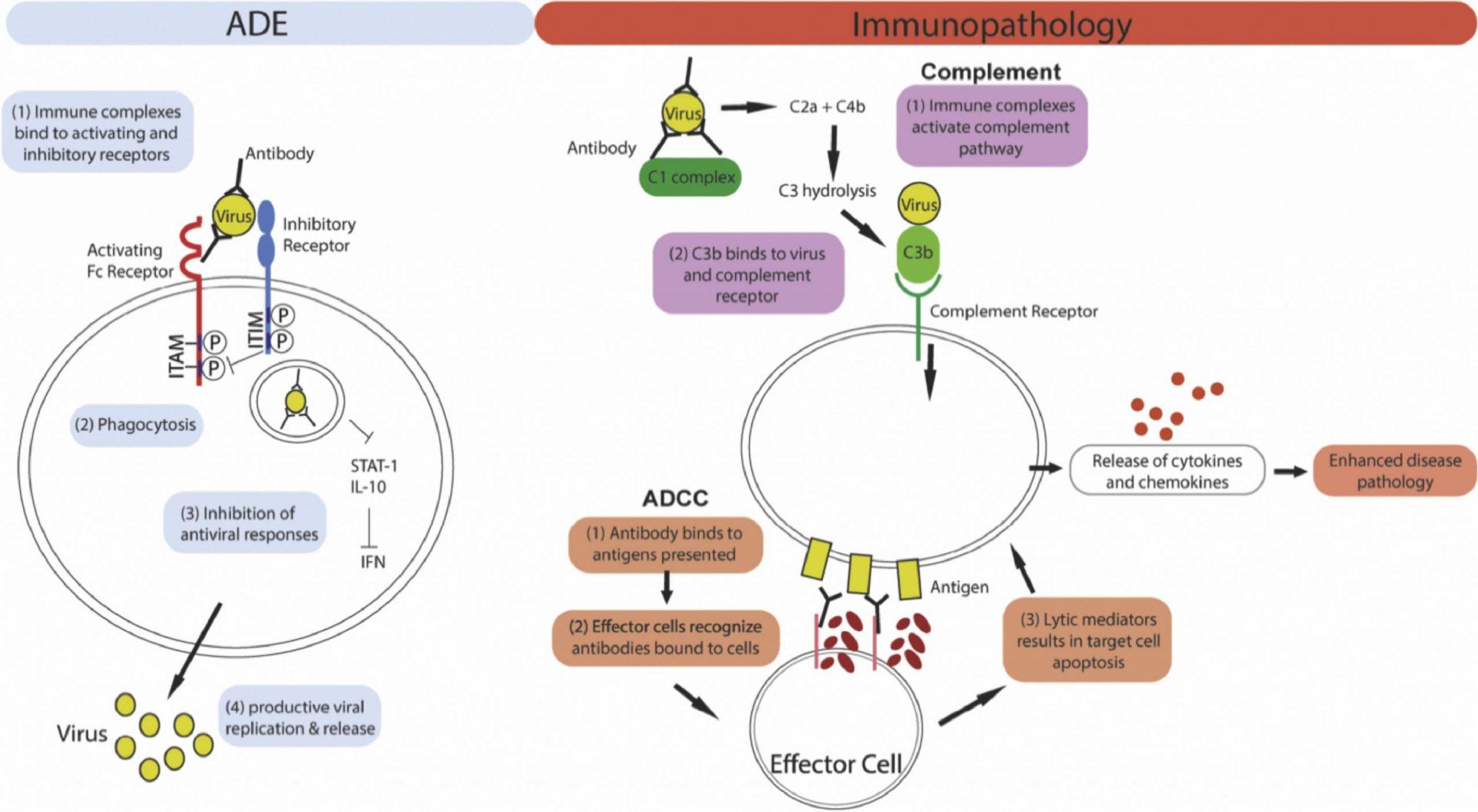 Рисунок 1: Механизм иммунопатологии, опосредованной ADE и антителами. Левая панель: для ADE интернализация иммунных комплексов опосредуется вовлечением активирующих рецепторов Fc на поверхности клетки. Совместное лигирование ингибирующих рецепторов затем приводит к ингибированию противовирусных ответов, что приводит к усилению репликации вируса. Правая панель: антитела могут вызывать иммунопатологию, активируя путь комплемента или антителозависимую клеточную цитотоксичность (ADCC). Для обоих путей чрезмерная активация иммунной системы приводит к высвобождению цитокинов и хемокинов, что приводит к усилению патологии заболевания.