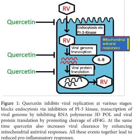Quercetin Viral Replication