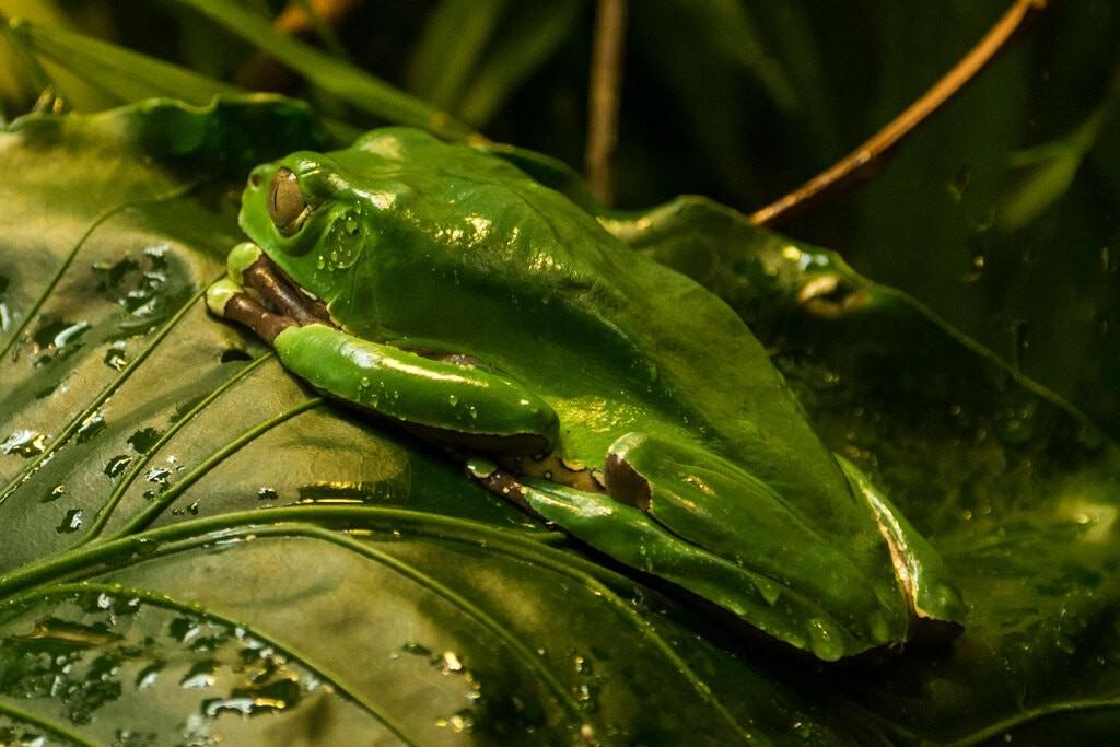 Гигантская лягушка-обезьяна, известная герпетологами как Phyllomedusa bicolor.